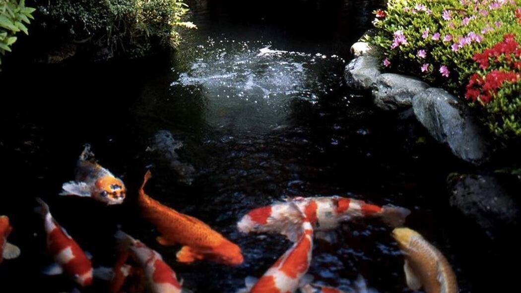 luxury Pond Carp Japan Tour
